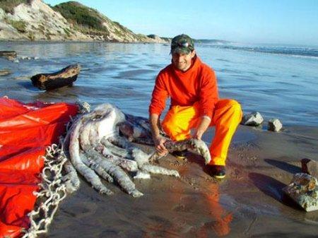 На берегу найден гиганский кальмар250кг
